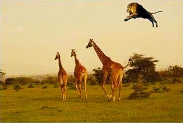 The leaping lion pounces on unsuspecting giraffe.