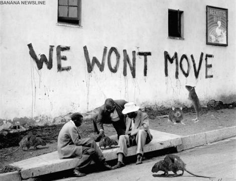 Rebel rats roaming the streets of Alexandra.